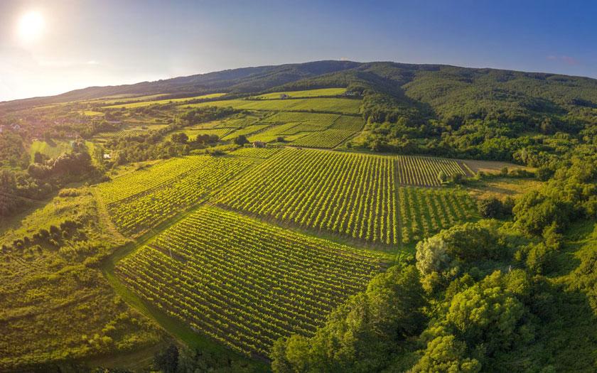 Kutjevo - vinogradi